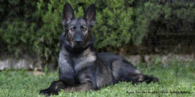 Razas de perros reconocidas por el American Kennel Club