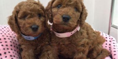 Clonación canina: ¿realidad o quimera?