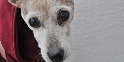 Nuevo fármaco para los perros con demencia senil