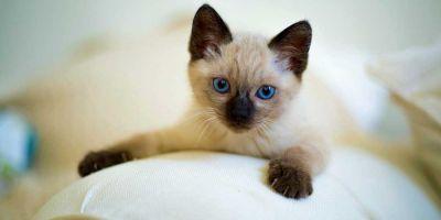 Los gatos también sufren el coronavirus, pero no el COVID-19