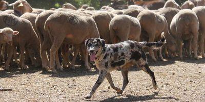 Pastor total: carea leonés o perro de aqueda