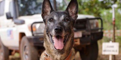 Los perros rastreadores de minas antipersona limpian Casamance en  Senegal