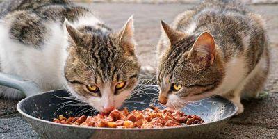 ¿Qué comida  es mejor para mi gato?