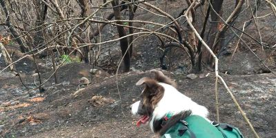 Tres border collie, héroes  de la reforestación en Chile
