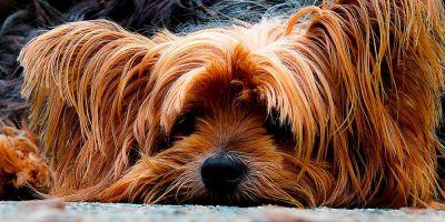 Los perros gordos viven un 15,5% menos que los flacos