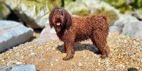 El polivalente perro de agua español