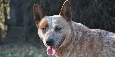 Australian cattle dog, el perro con el corazón más grande