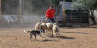 El pastoreo como felicidad para los perros pastor