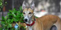 Mujeres galgueras: la soledad de los greyhound