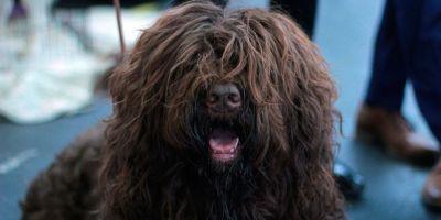 El dogo argentino y el barbet, por fin reconocidos por el American Kennel Club