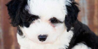Uno de cada tres cachorros que mueren tiene coronavirus canino