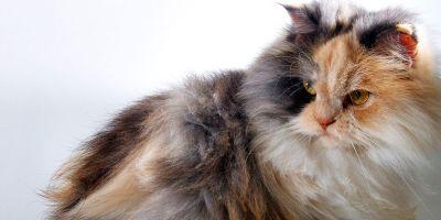 ¿Sabes cuántas razas diferentes hay de gatos?