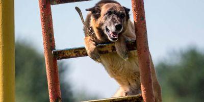 El entrenamiento de los perros policía pone en riesgo su  condición física