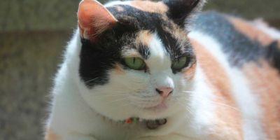 La moda de los gatos gordos: enfermos y nada sanos