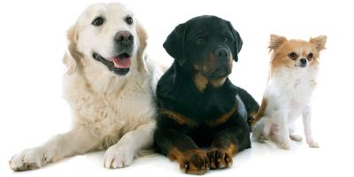 Labrador, rottweiler y chihuaha: los perros que más visitan el quirófano