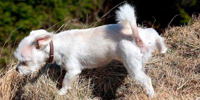 La alergia a los perros puede venir de su próstata