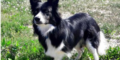 El border collie de tres patas que practica Disc Dog