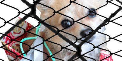 Uno de cada ocho perros que se regalan se abandona