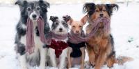 La alfombra roja canina