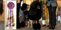 Exposiciones caninas: Belleza y cuidados
