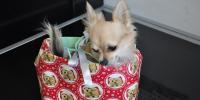 Ni regalo ni cría irresponsable de perros